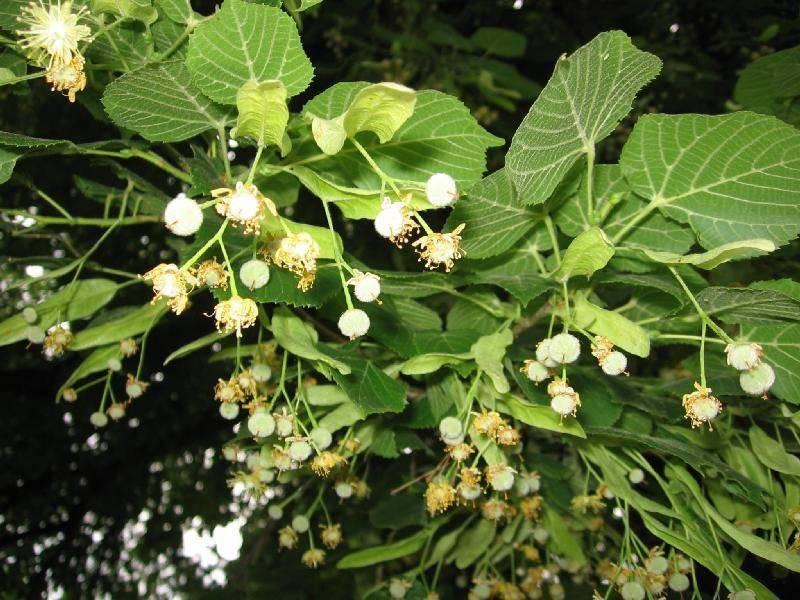 زیرفون گیاه دارویی است که می تواند به کنترل فشار خون بالا کمک کند